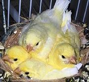 Nido con nidiacei di canarino domestico