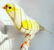 Canarino mosaico giallo