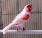 Canarino mosaico rosso