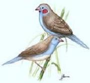 Cordon Blu (Uraeginthus bengalus)