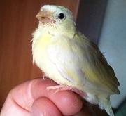 Giovane verzellino giallo