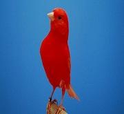 Canarino di colore rosso