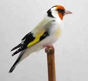 Cardellino major agata - foto Ornitologia Lodato
