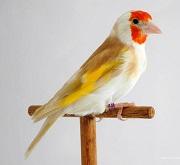 Cardellino major bruno - foto Ornitologia Lodato