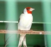 Cardellino major isabella - foto Ornitologia Lodato