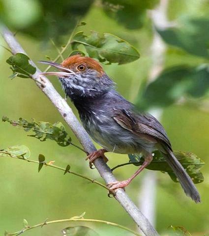 nuova specie di uccello scoperta in Cambogia