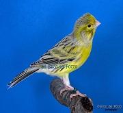 Canarina di colore agata giallo - foto del Pozzo© (riproduzione vietata senza il consenso scritto dell'autore)