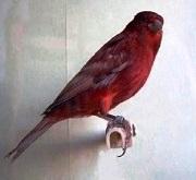 Canarino di colore ali grigie rosso - foto dalla rete