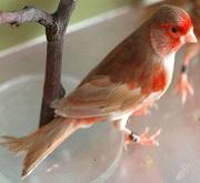 Canarino di colore bruno pastello mosaico rosso - foto dalla rete