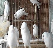Canarini di colore bianchi - foto dalla rete