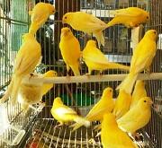 Canarini lipocromici gialli - foto dalla rete