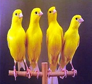 Canarini di colore gialli intensi - foto dalla rete