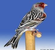 Canarino di colore agata mosaico rosso - foto del Pozzo© (riproduzione vietata senza il consenso scritto dell'autore)