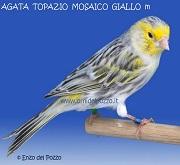 Canarino di colore agata mosaico topazio giallo - foto del Pozzo© (riproduzione vietata senza il consenso scritto dell'autore)