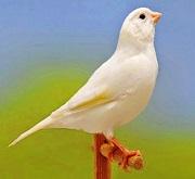Canarino di colore bianco dominante - foto dalla rete