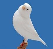 Canarino bianco recessivo - foto dalla rete