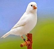 Canarino di colore bianco recessivo - foto dalla rete