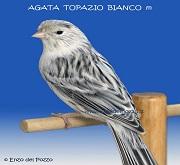 Canarino di colore agata topazio bianco - foto del Pozzo© (riproduzione vietata senza il consenso scritto dell'autore)