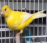 Canarino di colore giallo ala bianca - foto dalla rete