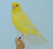 Canarino di colore giallo brinato - foto dalla rete