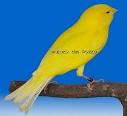 Canarino di colore giallo intenso - foto del Pozzo© (riproduzione vietata senza il consenso scritto dell'autore)