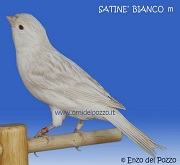 Canarino di colore satine' bianco - foto del Pozzo© (riproduzione vietata senza il consenso scritto dell'autore)
