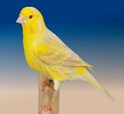 Canarino di colore satine' giallo brinato - foto del Pozzo© (riproduzione vietata senza il consenso scritto dell'autore)