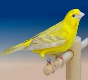 Canarina di colore satine' giallo intenso - foto del Pozzo© (riproduzione vietata senza il consenso scritto dell'autore)