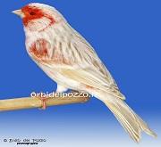 Canarino di colore satine'mosaico rosso - foto del Pozzo© (riproduzione vietata senza il consenso scritto dell'autore)