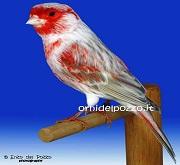 Canarino di colore isabella mosaico rosso - foto del Pozzo© (riproduzione vietata senza il consenso scritto dell'autore)