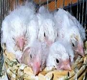 Canarini di colore bianchi recessivi - foto dalla rete