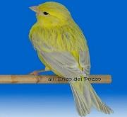 Canarino di colore agata opale giallo - foto del Pozzo© (riproduzione vietata senza il consenso scritto dell'autore)