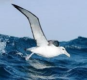 Albatros in pesca (fam. Diomedeidae)