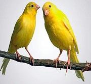 Coppia canarini gialli