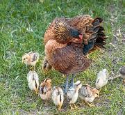 Chioccia gallina con pulcini