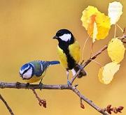 Coppia di cince - (fam. Paridae)