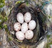 Nido e uova di cinciallegra (Parus major)