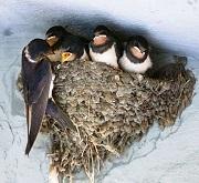 rondine con nido